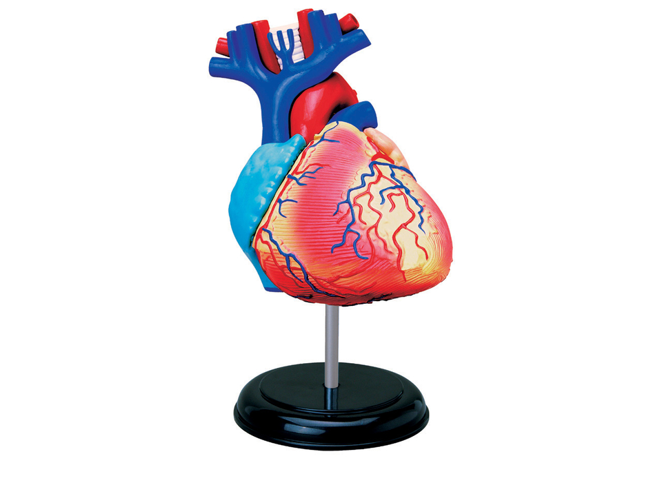 Anatómia tela 4D - Srdce